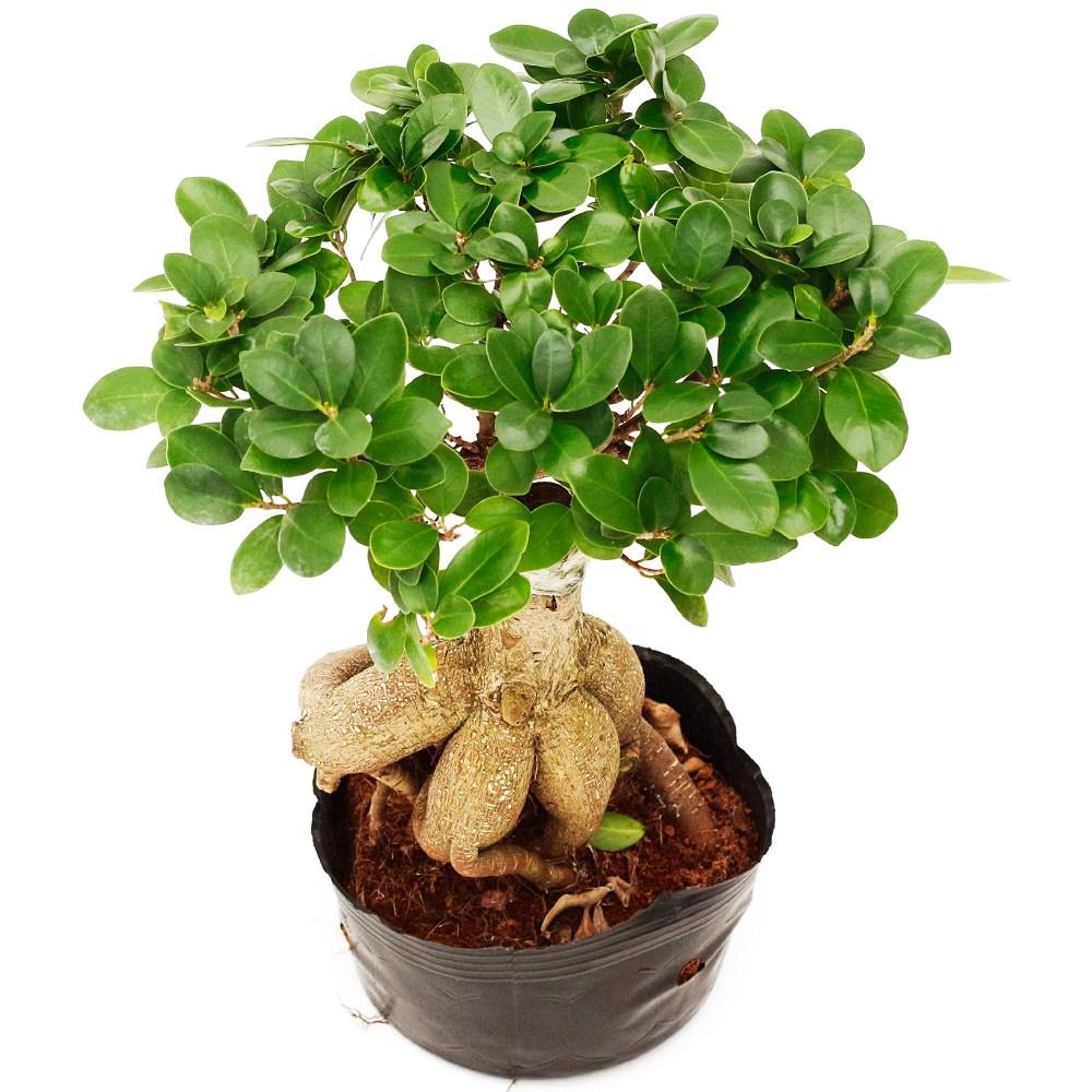 아침향기 공기정화식물 중형 대형 화분, (중형) 인삼펜다, 1개