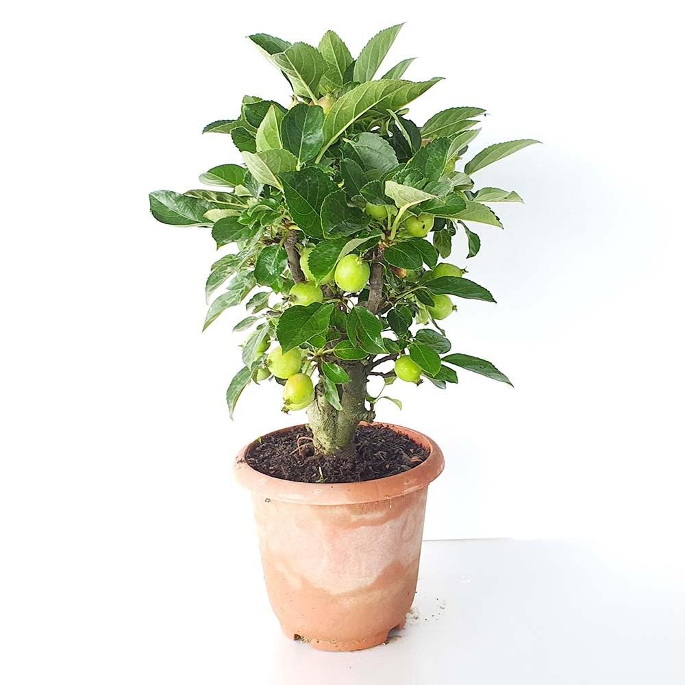 그린피아약초 애기 미니 아기 꽃 사과 나무 소형 분재 묘목 열매 화분 키우기