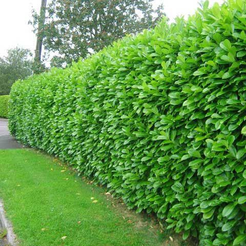 라라런던농원 사철나무 묘목 1m~1m40cm내외 울타리나무 정원수 조경수 관목 생울타리