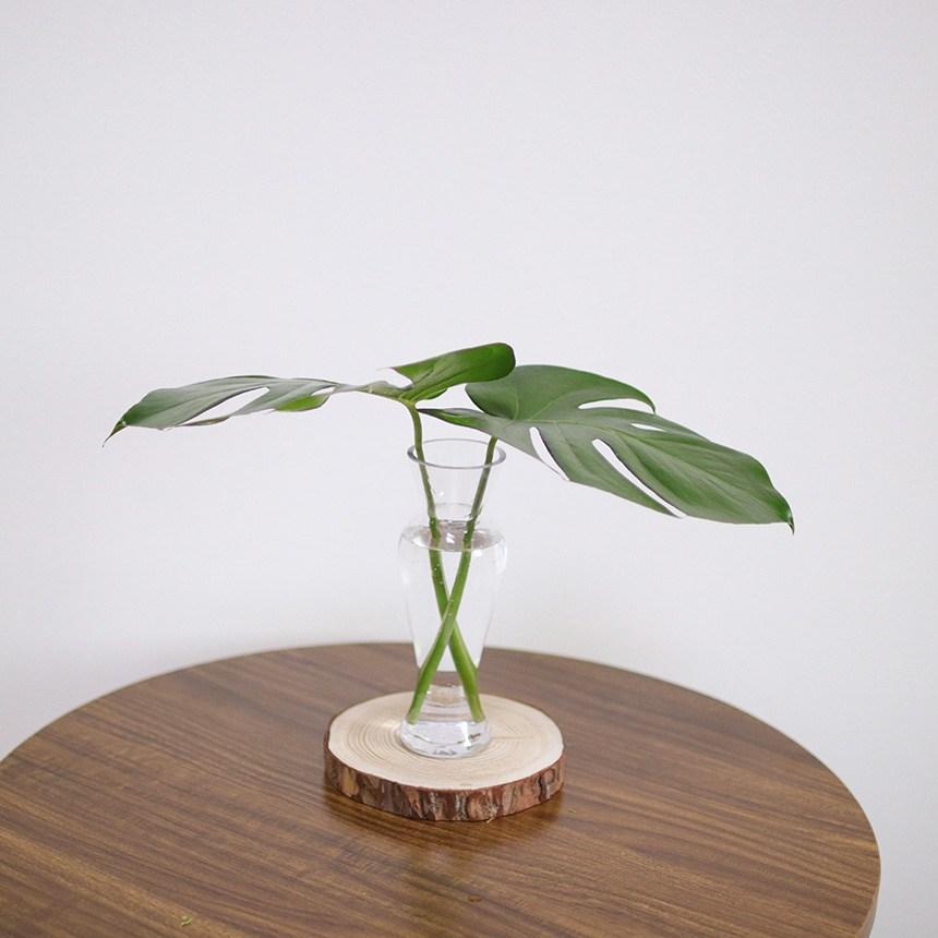 스위트피부티크 루스커스 몬스테라 야자수잎 엽란 그린테리어 수경식물, 몬스테라(1대)