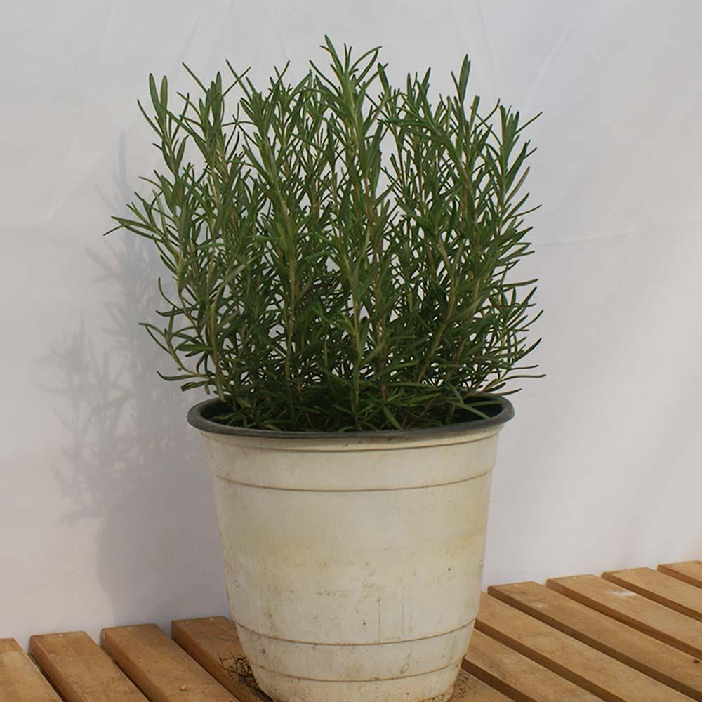 로즈마리 중형 나무 화분 실내 공기정화 허브 식물 가지치기