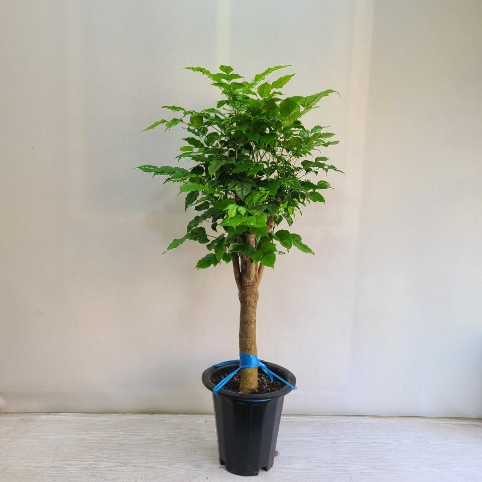 온누리농원 녹보수 외목대 공기정화식물 반려식물