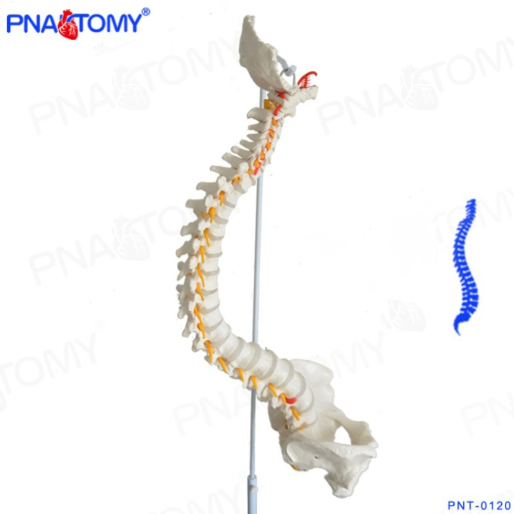 1:1 구부러지는 척추뼈 척추 모형 골반 인체 골격 해부학 해부 신경의학 교육 기자재, 단일상품개 (POP 5223938332)