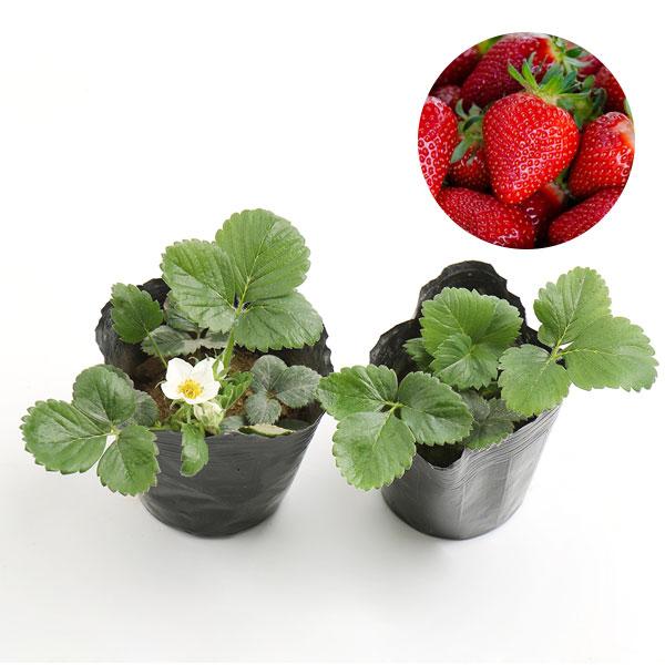 갑조네 딸기 모종 2개 텃밭 딸기키우기 주말농장