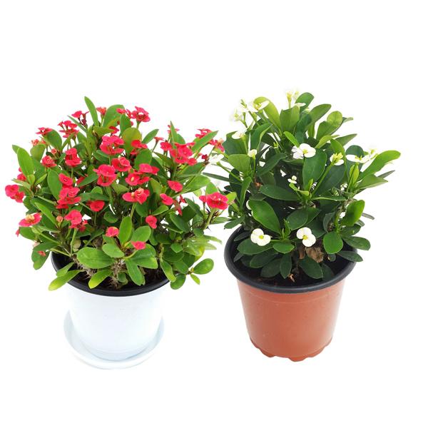 꽃집아가씨 중대형 공기정화식물50종, 꽃기린1+1(색상랜덤발송)
