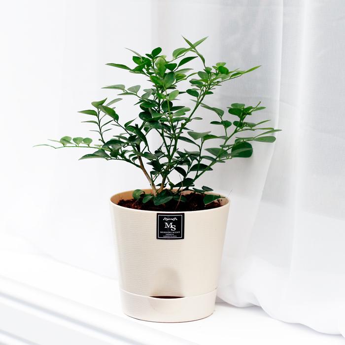 아침향기 공기정화식물 기능성 에코화분 아이보리, (에코화분/아이보리) 오렌지자스민, 1개
