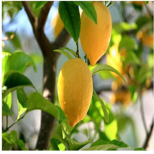 순희농장 레몬나무화분(60cm 100cm), 레몬나무화분(상)60cm전후, 1개