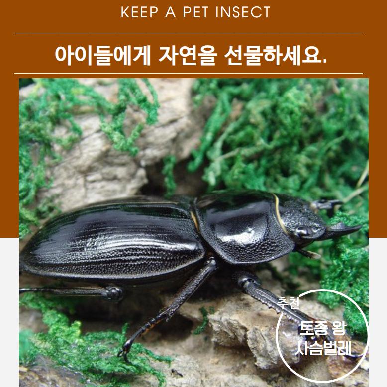 벅스피드 토종 왕사슴벌레 성충 암컷