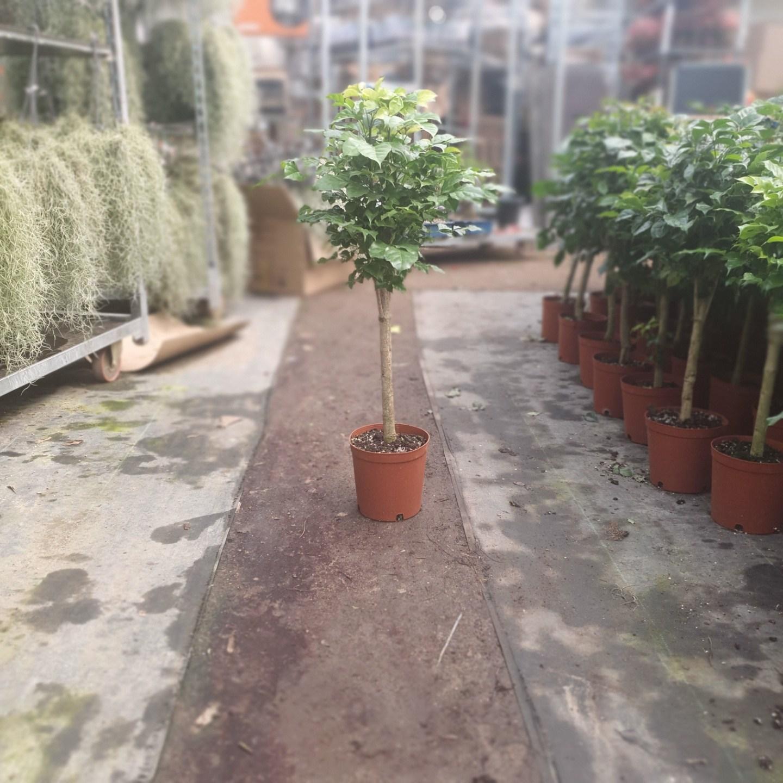 식물 공장 외목대 녹보수 대품 토피어리 핫도그녹보수 공기정화식물 대박나무미세먼지제거식물 249s