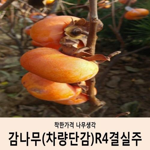 착한가격 나무생각 감나무(차량단감)R4결실주