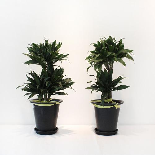 콤팩타 먼지먹는 식물 인테리어 실내공기정화