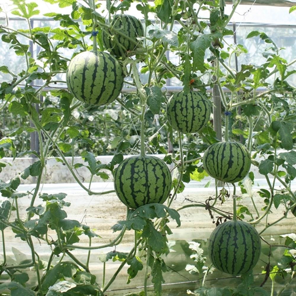 애플수박모종 흑애플수박모종 가정용 텃밭 모종, 흑피애플수박모종 5주