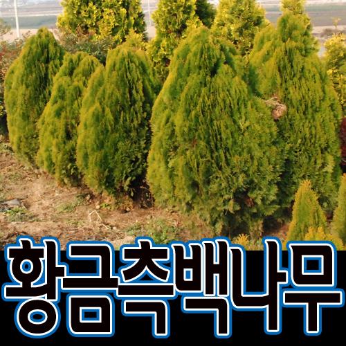 순희농장 황금측백50cm 65cm 80cm전후 황측백나무 황금측백묘목 울타리 관상수 폐차 방음 방품, 1개, 황금측백분50cm전후