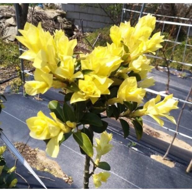 세종식물원 신품종 조경수 정원수 스프링참 황금 사철나무 묘목 화분