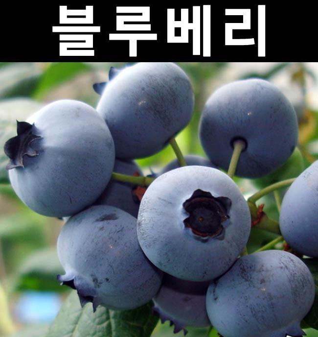 블루베리(M7) 3년포트 3개/나무 묘목/과실수/유실수