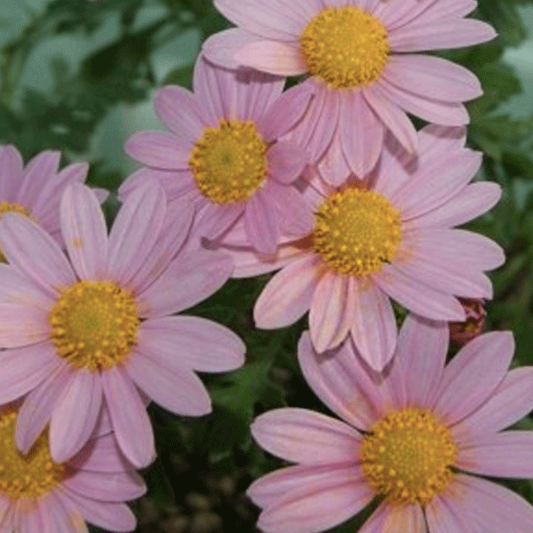 복남이네야생화 구절초-핑크 [5포트] (10cm포트 가을 분홍구절초 기본 모종)