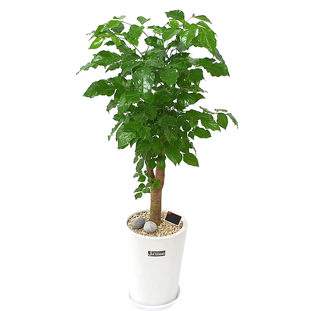 햇살농장 중대형 공기정화식물 인테리어 개업화분, 1개, 1.(대형)녹보수