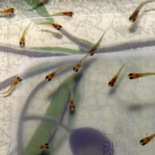 서진열대어직판장 구피치어(20~30마리), 30마리