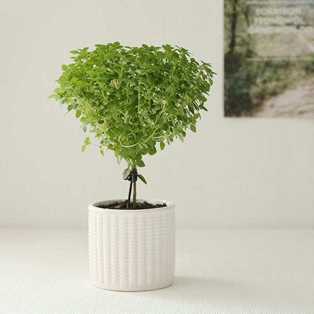 [천삼백케이] [더플라워마켓] [plant] 향기로운 바질트리 허브식물화분set