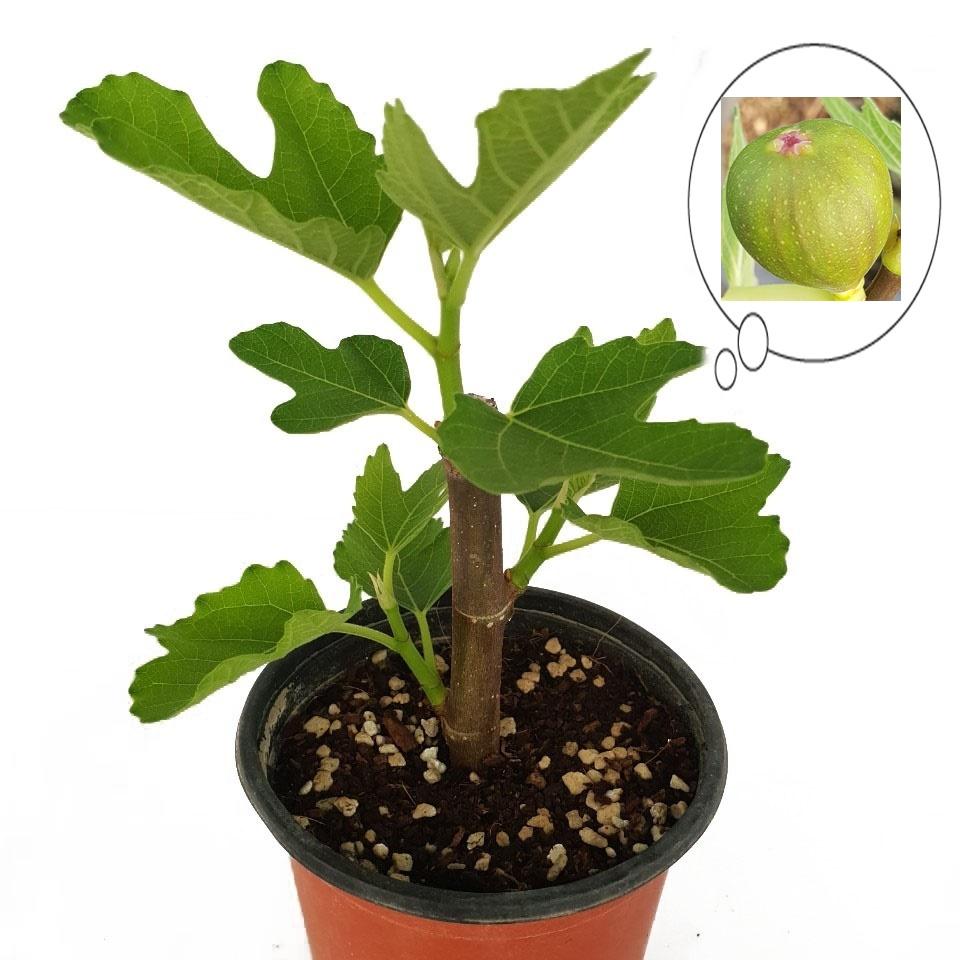 트리앤 무화과 천리향 레몬나무 오렌지자스민 영양제, 01. 1+1 무화과(소) 1개