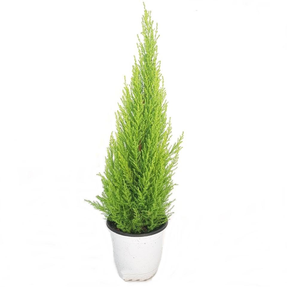 트리앤 율마 개운죽 행운목 공기정화식물 미세먼지제거식물, 24. 율마(중대) 1개