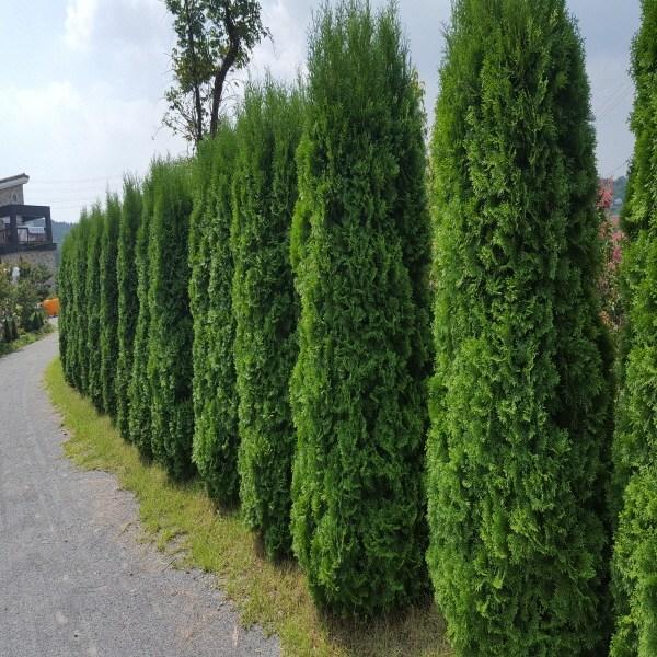 가림원예조경 측백나무, 서양측백 H1.2, 1개