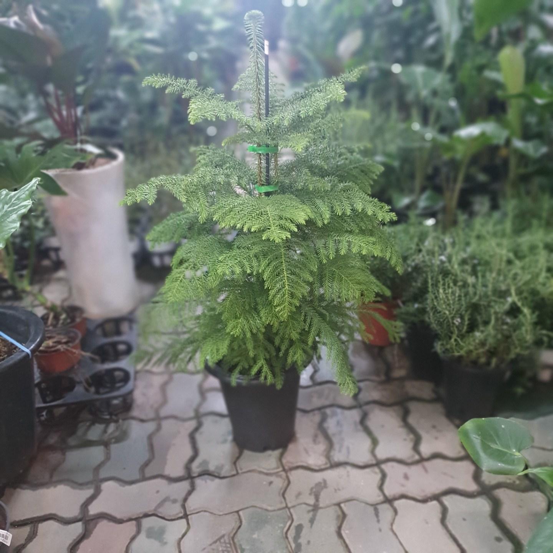 식물 공장 아라우카리아 크리스마스 겨울식물 대품 공기정화식물 반려식물 관엽식물 299s