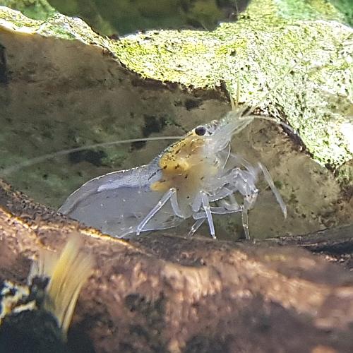 [신세계수족관] 이끼청소 야마토 새우 2cm급 5마리 10마리