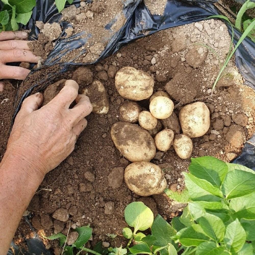 농사꾼이야기 2020년 강원도 수미 햇 감자 3kg 5kg 10kg, 1박스, 햇감자 중(조림,구이용) 3kg