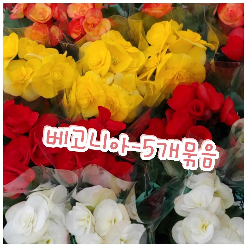 꽃나라엘리스 꽃베고니아-5개묶음