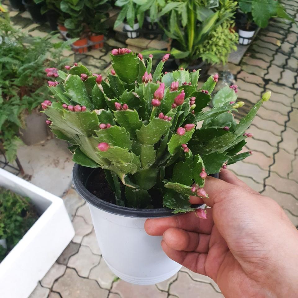 게발선인장 중품 붉은색 반려식물 선인장 다육식물 30~50cm 89