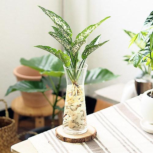 고미플라워 공기정화식물 수경재배 3종 - 스노우사파이어 아레카야자 셀렘, 스노우사파이어+유리화병