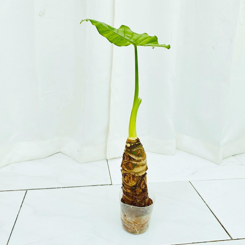 청년농부 초특가 미니 소형 알로카시아 귀여운식물 공기정화식물 인테리어식물