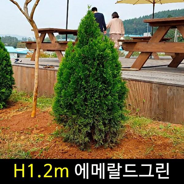 금산묘목나라 에메랄드그린 H1.2m 넓은폭 분다리 묘목 1주