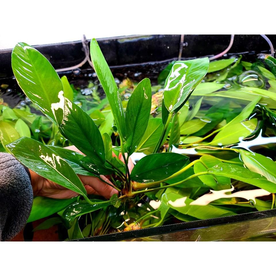헤테로필라나나(란세로타) 나나 음성수초 활착수초