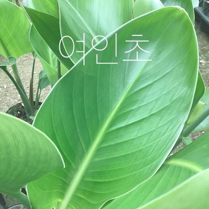 *쟈스민 식물* 여인초 (소)