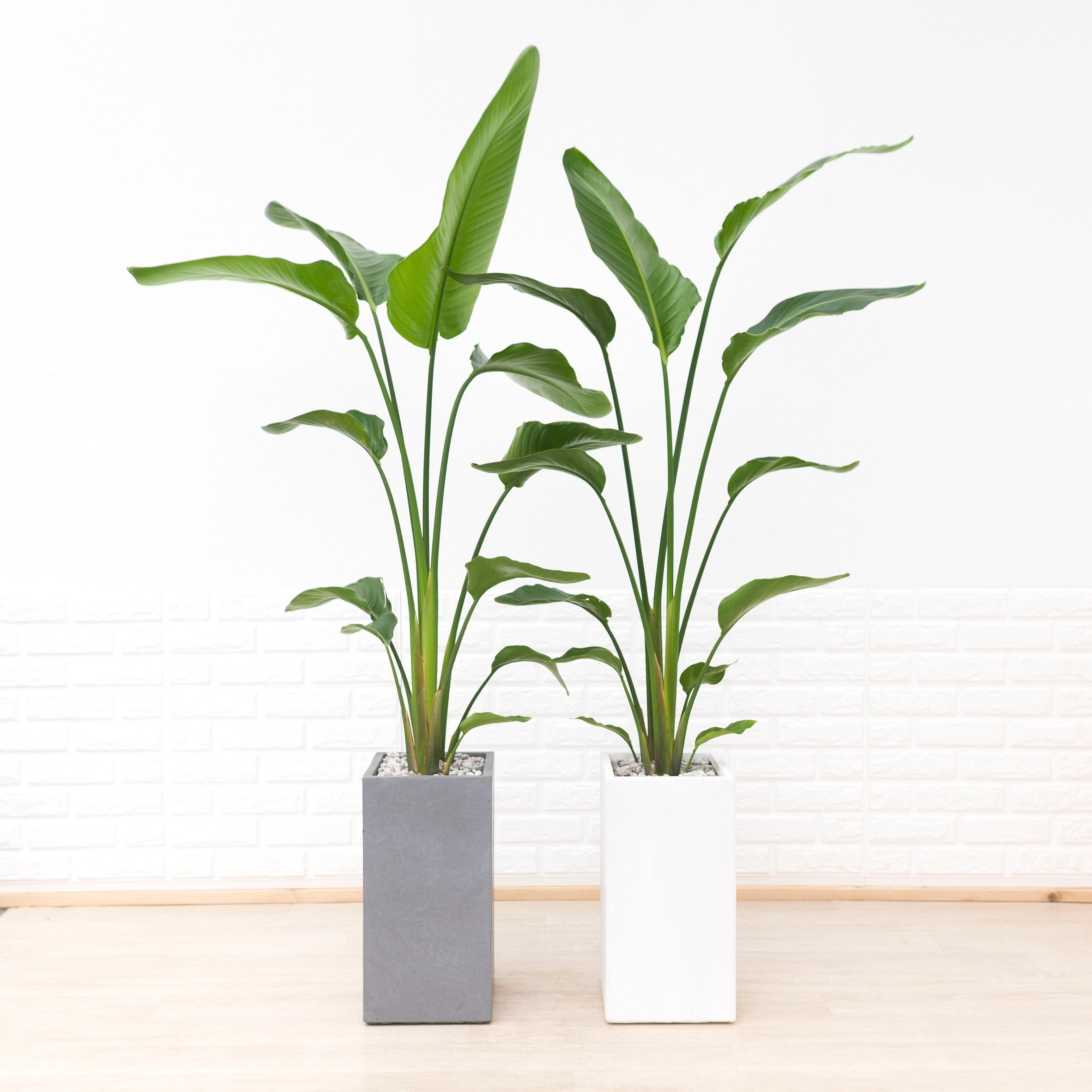 [화수분] 공기정화식물 극락조 인테리어 화분 카페형화분
