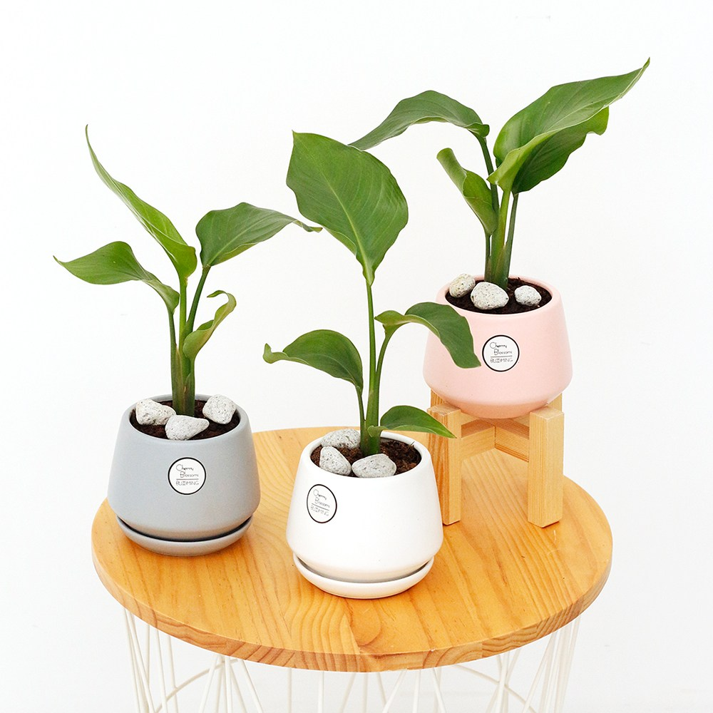 삼색세라믹 인테리어 화분 공기정화식물 집들이선물, 여인초, 삼색세라믹 핑크