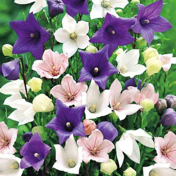 복남이네야생화 꽃도라지 퍼플 [4포트] (10cm포트 식용가능 플라티코돈 도라지꽃 모종)