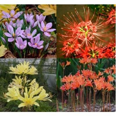 금강원예 가을구근 꽃무릇(석산)