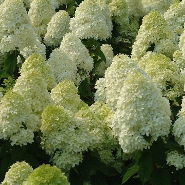세종식물원 목수국 라임라이트 나무 묘목 화분
