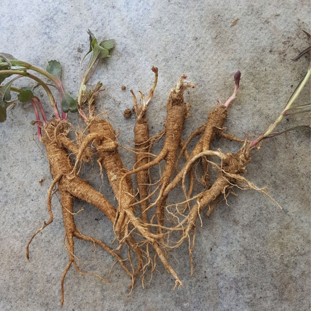 국내산 약 잔대 2년생 종근(모종) 뿌리 10주 - 으뜸산채 산야초 야생화