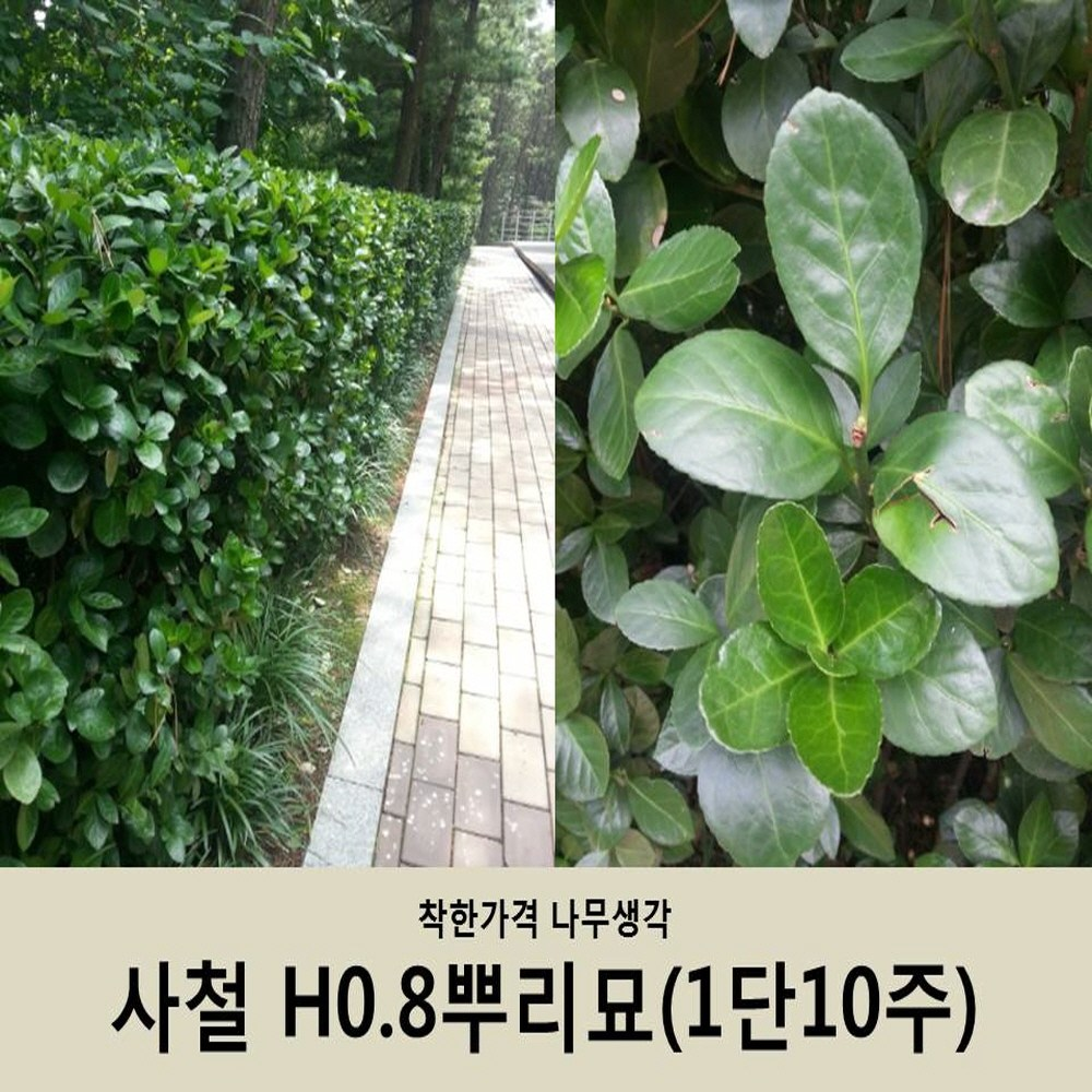 착한가격 나무생각 사철H0.8뿌리묘(1단10주묶음)