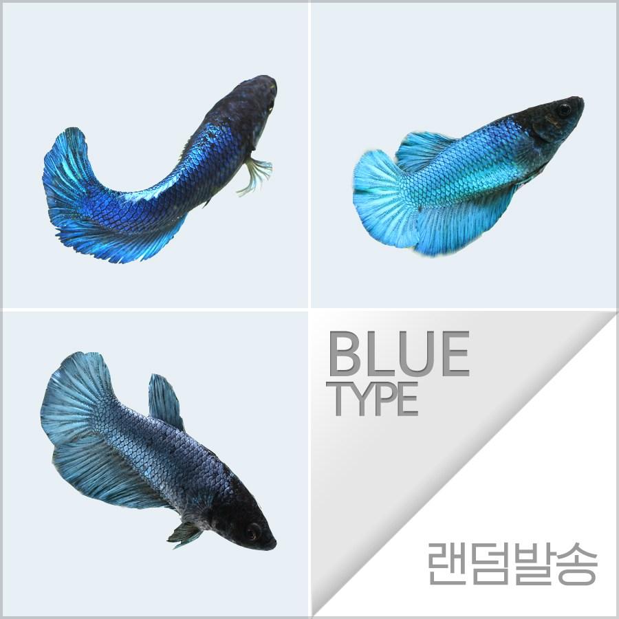 열대어) 하프문베타 블르그린색 암컷 (키우기쉬운물고기 초보자용관상어)