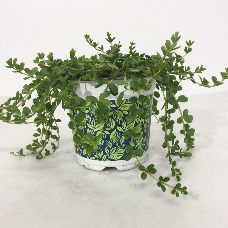 이사벨라 페페로미아 공기정화식물 키우기쉬운식물 식물인테리어