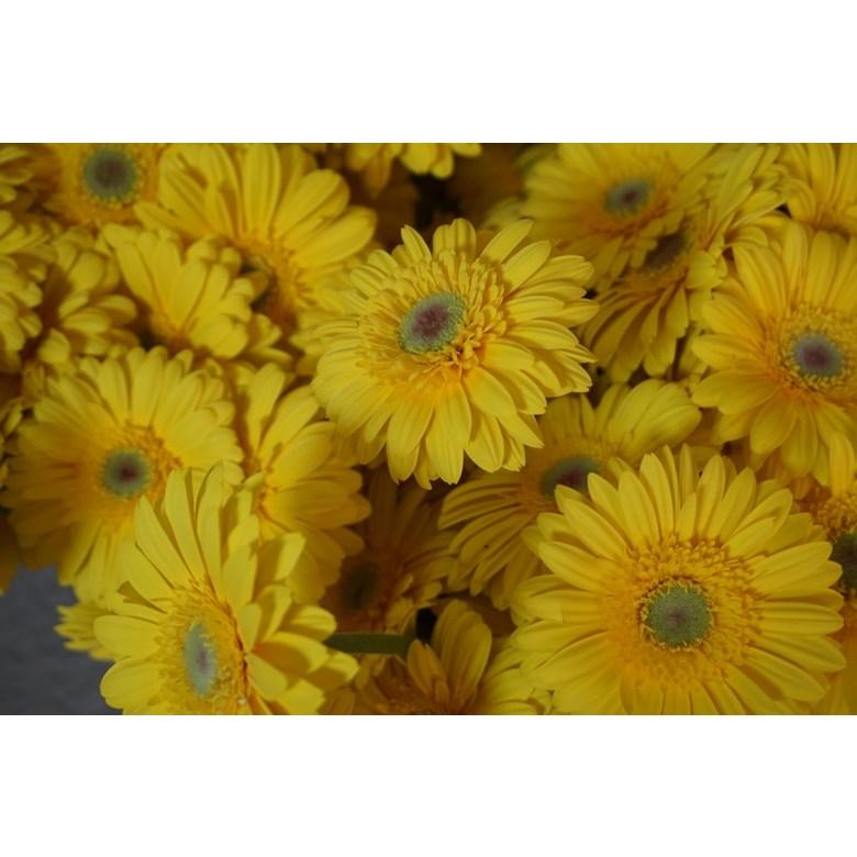 (하나플란츠)생화 거베라 5송이 생화농장 꽃택배, 옐로우계열