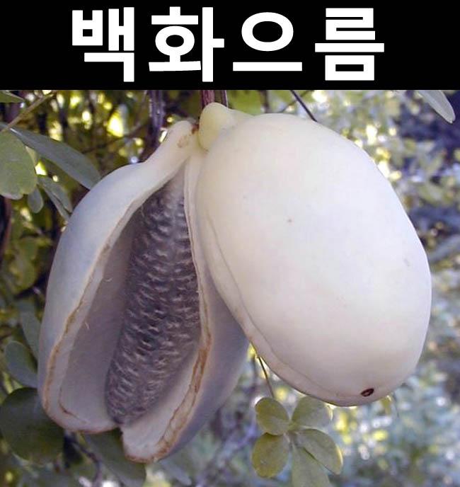 백화으름(대과종) 8치화분 결실주/나무 묘목/과실수