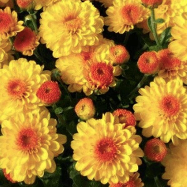 꽃이활짝-가든멈 기기골드 [3포트] (10cm포트 복남이네야생화 옐로우 가을꽃 정원국화 모종)