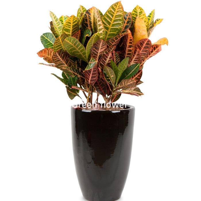 [그린플라워] 크로톤 당일배송 관엽 공기정화식물 인테리어식물 개업식 취임식, 고급