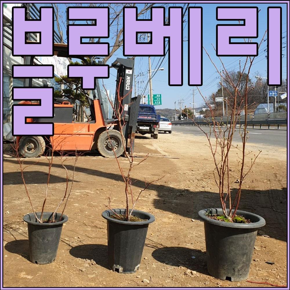 나무 팜(자연농원) 블루베리 묘목, 중간묘목